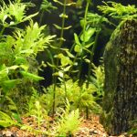 メダカや金魚の水槽に生息するかたつむり