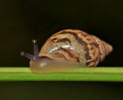 カタツムリ 寄生虫 目玉