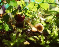 カタツムリ 野菜 害虫