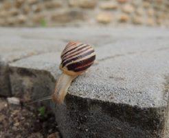 カタツムリ 一匹 産卵