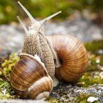 産卵後のカタツムリはなぜ寿命が短いのか?