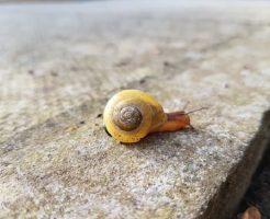 カタツムリ 赤ちゃん 殻